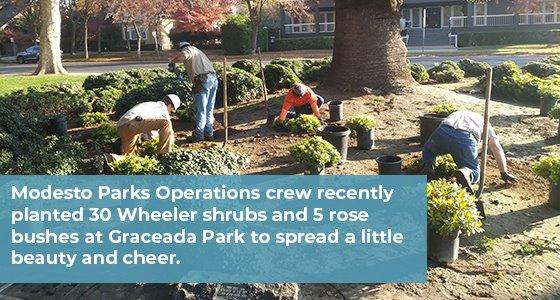 Modesto Parks crew planting shrubs